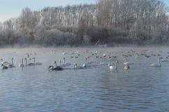 Svanar på sjön Arkivbilder