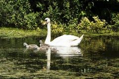 Svanar på sjön Balaton royaltyfri bild