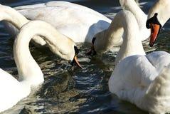 Svanar på sjön Balaton, Ungern royaltyfria foton