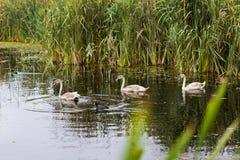 Svanar på sjön i Comana naturlig reservation arkivbild