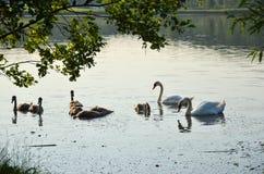 Svanar på sjön i den öppna luften 3 royaltyfri foto
