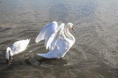 Svanar på sjön i Krim royaltyfri foto