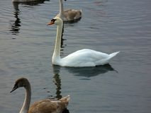 Svanar på sjön i middagar royaltyfri bild