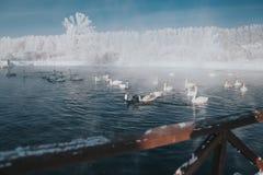Svanar på sjön i vinter arkivbild