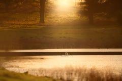 Svanar på sjön på solnedgången royaltyfria bilder