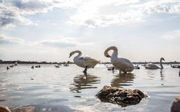 Svanar på sjön Sasyk royaltyfri foto
