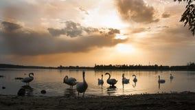 Svanar på sjön på solnedgången Royaltyfri Fotografi