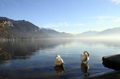 Svanar på Annecy sjön i Frankrike Fotografering för Bildbyråer