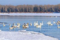 Svanar p? vinterfloden royaltyfria bilder