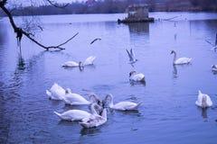 Svanar simmar i den blåa floden och seagullen fotografering för bildbyråer