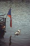 Svanar simmar nära restaurangen på vattnet, flaggan av tjeckerna Arkivfoton