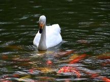 Svanar simmar på den withRed och gula guldfisken för floden i mörkt - grön bakgrund royaltyfri foto