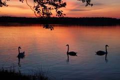 Svanar solnedgång royaltyfri foto
