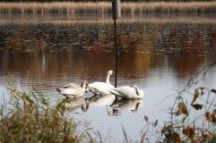 3 svanar som badar i Minnesota en sjö royaltyfri bild