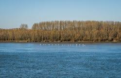 Svanar som flyger över flodDonauen arkivbilder