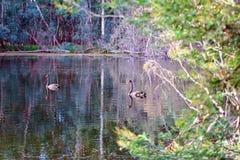 Svanar som fridfullt simmar på solnedgången royaltyfria bilder