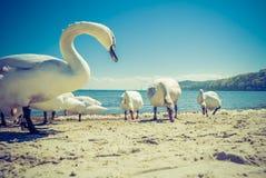 Svanar som går på stranden arkivbild
