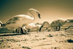 Svanar som går på stranden arkivfoton