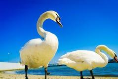 Svanar som går på stranden royaltyfria foton