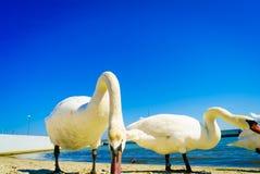 Svanar som går på stranden royaltyfri foto