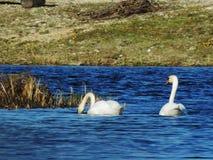 Svanar som har gyckel i sjön royaltyfria bilder