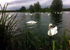 Svanar som matar på Willen sjön, Milton Keynes royaltyfria bilder