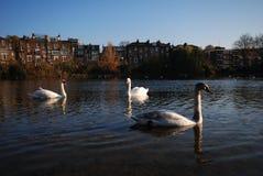 Svanar som simmar i dammet, Hampstead hed, London, UK arkivfoton