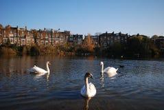 Svanar som simmar i dammet, Hampstead hed, London, UK fotografering för bildbyråer