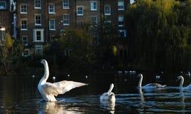 Svanar som simmar i dammet, Hampstead hed, London, UK royaltyfria foton
