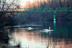 Svanar som simmar i en flod i Italien Arkivbilder