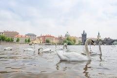 Svanar som simmar i floden fotografering för bildbyråer