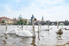 Svanar som simmar i floden royaltyfria foton