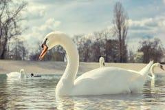 Svanar som simmar i sjön royaltyfria foton