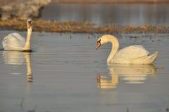 Svanar som simmar på floden Royaltyfri Bild