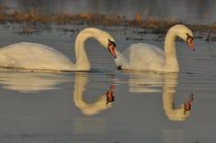 Svanar som simmar på floden Ett par av fåglar på vattnet Förälskelse Arkivfoton