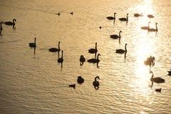 Svanar som simmar på guld- vatten Arkivbilder
