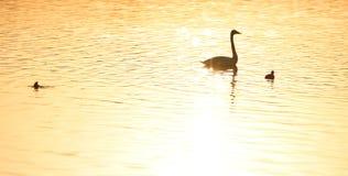 Svanar som simmar på guld- vatten med krusningar Royaltyfria Foton