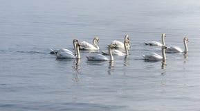 Svanar som simmar på sjön fotografering för bildbyråer