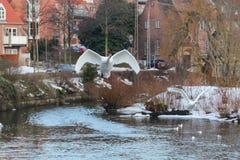 Svanar som skjuta i höjden från vattnet av en flod i Odense, Danmark arkivfoto
