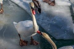 Svanar som slåss på is Royaltyfri Fotografi