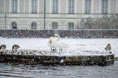 Svanar under snöstormen fotografering för bildbyråer