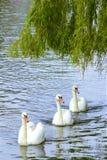 Svanar in Walton-på Themsen, England royaltyfria bilder