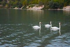 Svanbad på sjön Sjö med svanar arkivfoton