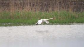 Svanen flyger och sitter snabbt på vattnet lager videofilmer