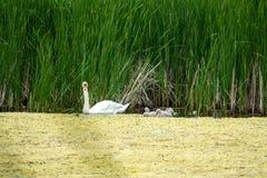 svanen och hans avkommor går på en utfärd på sjön arkivfoto