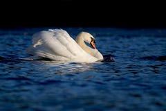 Svanen på sjön i vinter royaltyfria foton