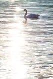 Svanen på solnedgången reflekterade i vatten, Zurich royaltyfri foto