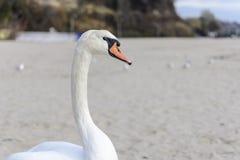 Svanen poserar på stranden royaltyfri foto