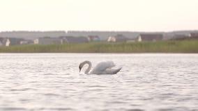 Svanen simmar härligt i sjön arkivfilmer
