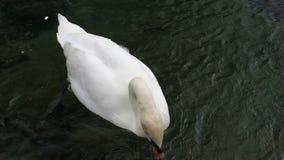 Svanen simmar i sjön stock video